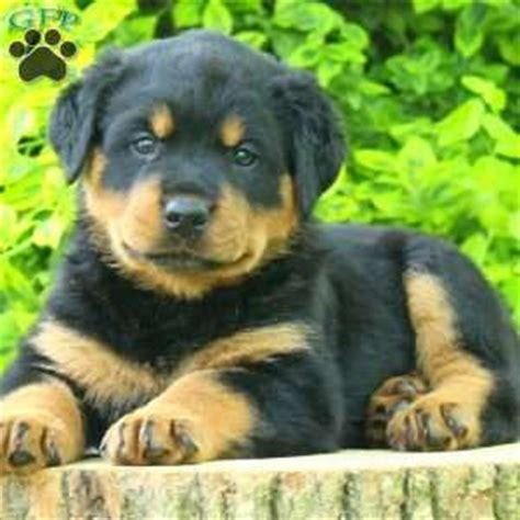 rottweiler puppies for sale in pa 500 rottweiler puppies for sale in pa