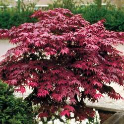 how to planting and caring for japanese maples wayside