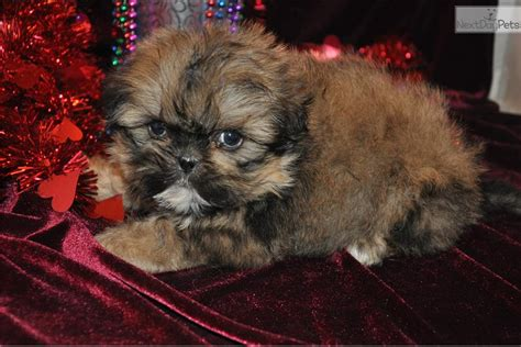 shih tzu for sale in iowa blue shih tzu puppy baker blue shihtzu shih tzu puppy for sale near