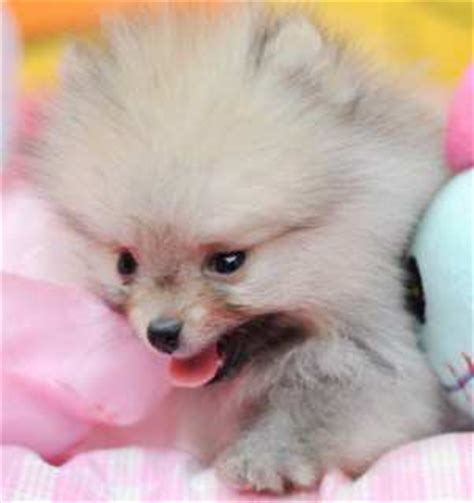 mini pomeranian info miniature pomeranians pomeranian information center toys teacups
