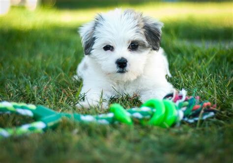 maltese shih tzu mix puppies for sale maltese shih tzu shitzu puppy meets bunny rabbit