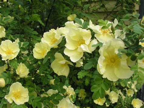 Mawar Hijau Green Roses Plants Tanaman Bunga Hias Unik Langka gambar alam mekar menanam daun bunga berkembang bunga hijau segar kuning flora
