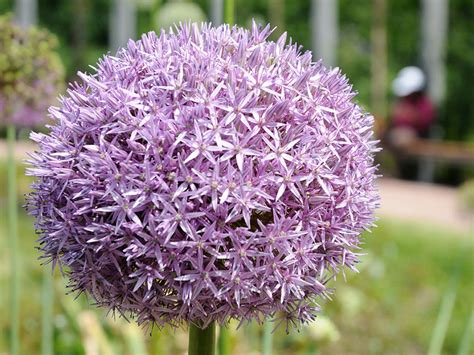 pianta da fiore aglio da fiore allium varie specie giardinaggio mobi