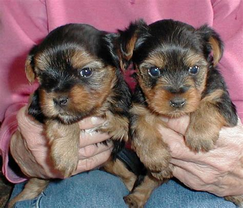puppies for sale in charlottesville va pets charlottesville va free classified ads