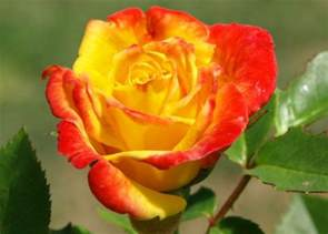 a rose colored garden 10 different types of roses to grow organic authority