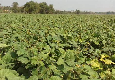 Metindo Lalat Buah 12 jenis hama penting tanaman kacang hijau dan teknik