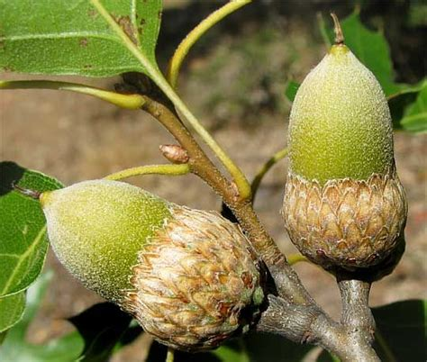 what fruit grows on an oak tree 287 best images about acorn fruit of the oak tree le