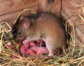 the average rat litter is 12 but upto 20 is possible