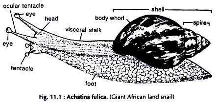 diagram of land snail dissection of land snail with diagram