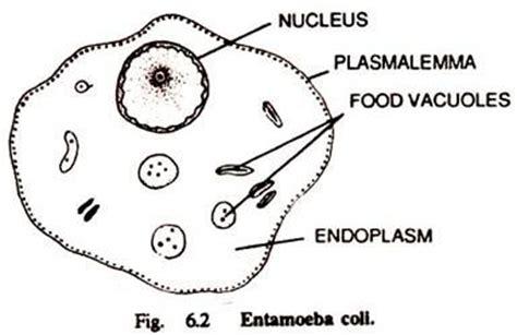 labelled diagram of entamoeba histolytica species of entamoeba with diagram microbiology