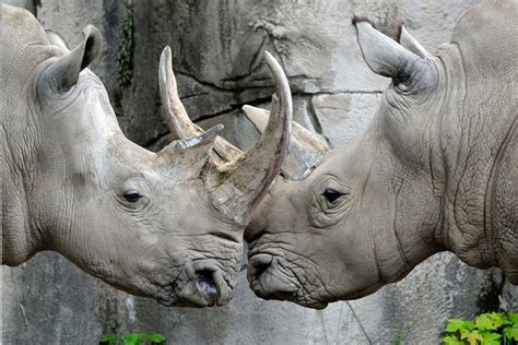 Rhinoceros - Detroit Zoo