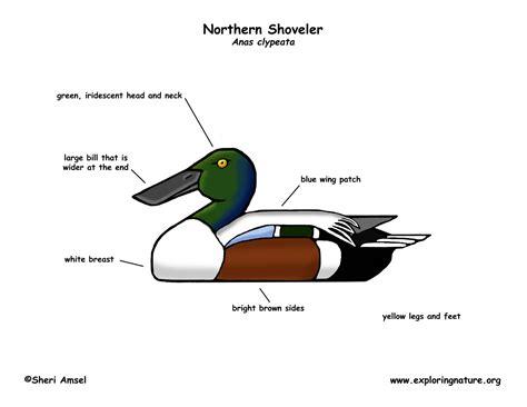 duck diagram duck northern shoveler