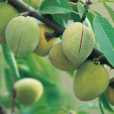 almond fruit tree walnuts chestnut cobnutt filbert and almond tree