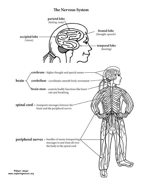 central nervous system coloring page sketch coloring page