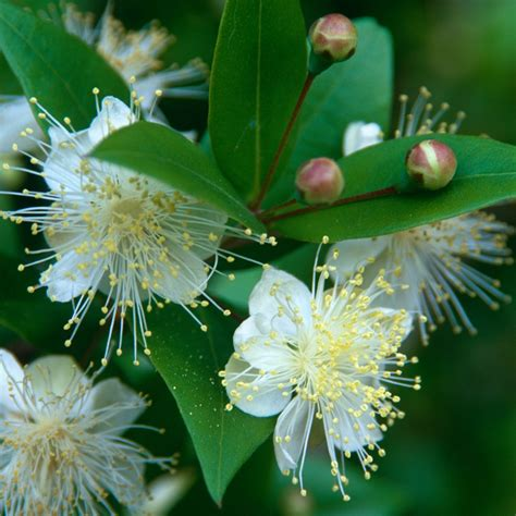 myrtle plant buy common myrtle myrtus communis myrtus communis 163 14 99 delivery by crocus