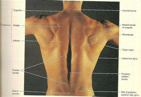 back muscle image collections human anatomy organs diagram