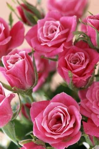 imagenes para celular de flores papel de parede para celular flores rosas 320x480 2