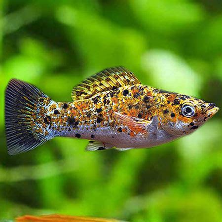 Tropical Fish Marble marble saffron molly aquatics to your door