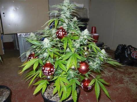 weed fir tree