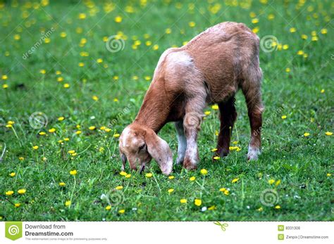Goat Standing On Cow by Baby Goat Eating Grass In Green Meadow Royalty Free Stock