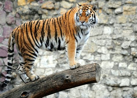 tiger colors brownish orange tiger colors photo 34705179 fanpop