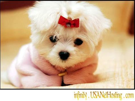 free maltese puppies cuddle me personality maltese puppies for free adoption apache junction az