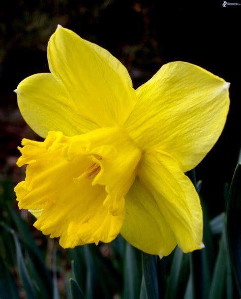 fiore narciso foto narciso