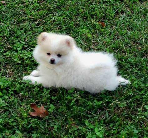 pomeranian puppy behavior pomeranian dogzone nyc
