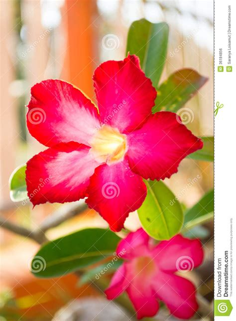 list of flowers with pictures beautiful flowers desert rose flower royalty free stock image image 36184856