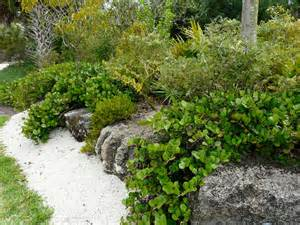 florida native plant society blog horizontal cocoplum in