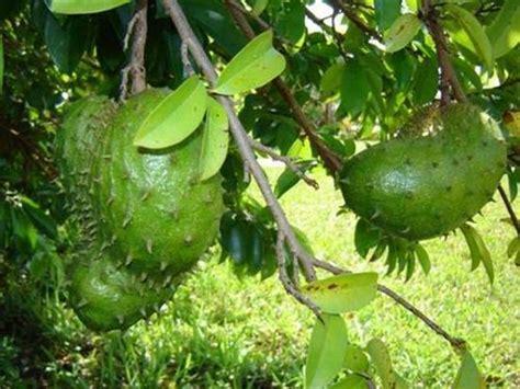 tranungkite v10 buah sirsak durian belanda pembunuh kanker kanser