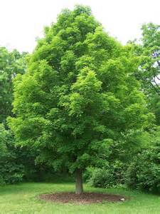 best trees types of maple trees best trees to plant