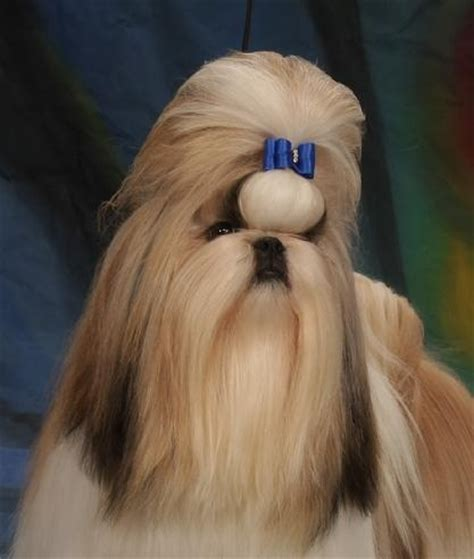 Shitsu Poodle With Long Hair | 75 best shih tzu images on pinterest doggies baby