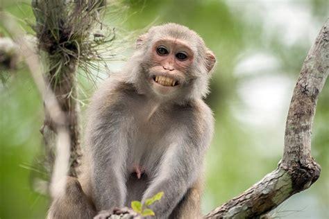 gambar gambar gambar monyet related keywords gambar monyet long tail
