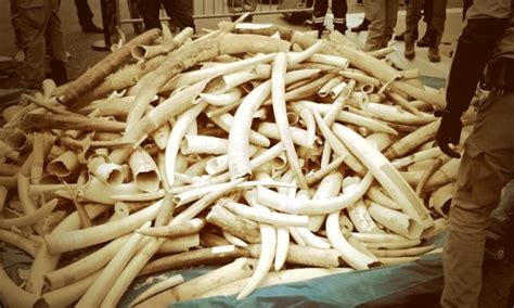 Does destroying ivory save elephants? | Environment | The ...
