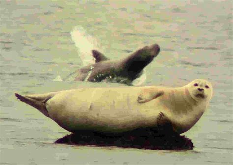 Seal Water Seal Animal In Water Www Imgkid The Image Kid Has It