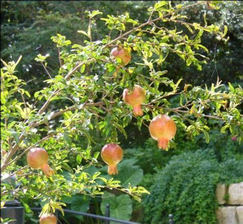 Benih Buah Delima Merah tanaman buah delima merah daftar harga terkini dan