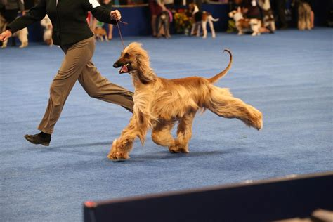 forget football the national dog show is thanksgivings show on thanksgiving 100 images thanksgiving special