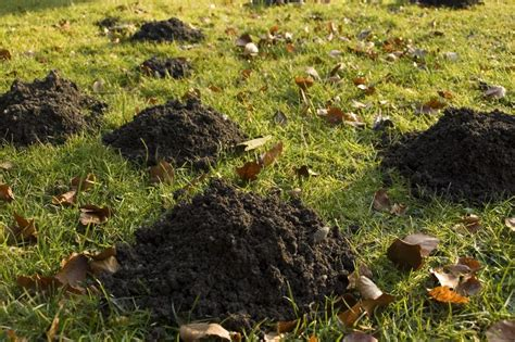 moles in backyard how to get rid of moles in your yard arrow termite