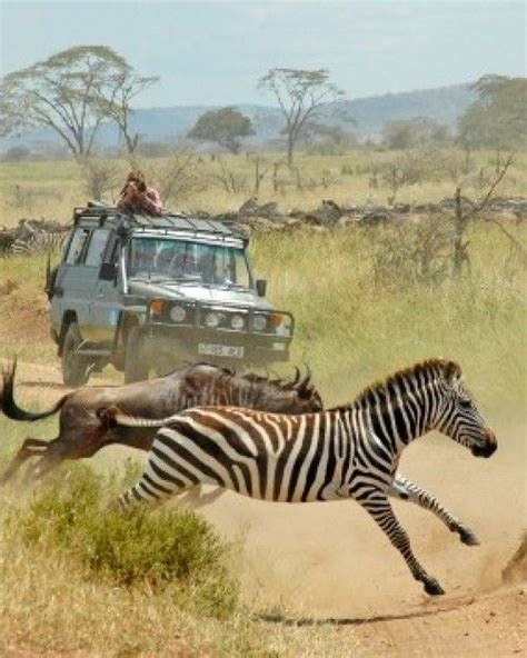 Boneka Bantal Running Serengeti Animal Kingdom 189 best images about animals on africa giraffes and monkey