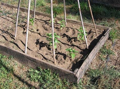 semina basilico in vaso seminare basilico aromatiche consigli per la semina