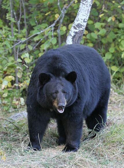 black bear american black bear wikipedia
