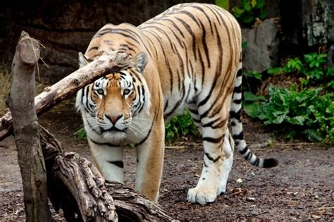 mp harimau tiger bites off boy s arm at indian zoo aol uk travel