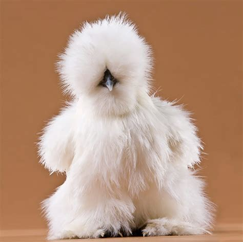 silky white day old chicks white silkie bantam from my pet chicken