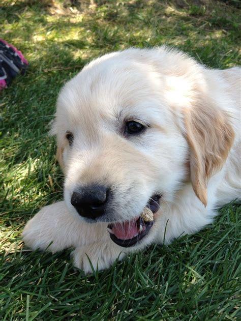 7 week golden retriever puppy golden retriever puppy 7 weeks golden retrievers pintere