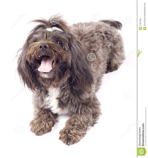 perro havanese retrato de un perro havanese fotos de archivo libres de regal 237 as imagen 11301708