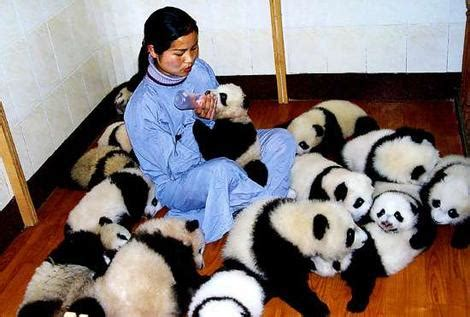panda for sale well trained baby pandas for sale