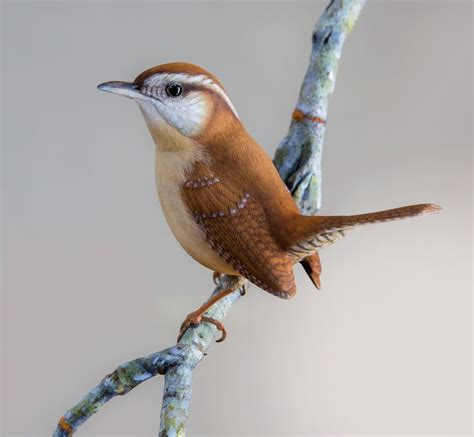 carolina wren birds pinterest