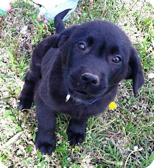golden retriever mississippi mocha adopted puppy starkville ms golden retriever labrador retriever mix