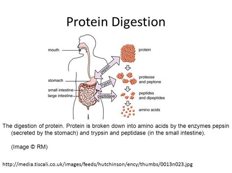 protein digestion gastrointestinal pathophysiology ppt